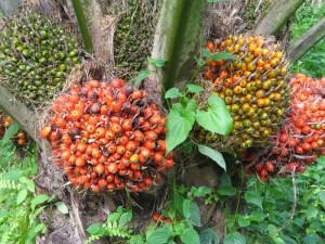 kelapa-sawit[1]_0