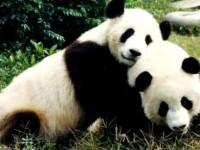 Buntut MH370, Cina Tunda Kirim Panda ke Malaysia