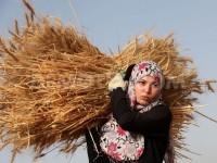 """Takut Diserang """"Hama"""" Israel, Petani Palestina Panen Sebelum Waktunya"""