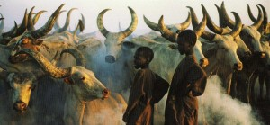 cattle africa