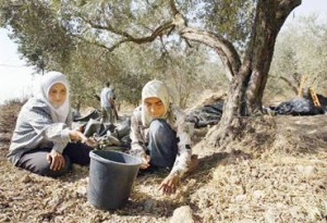 wanita palestina di kebun zaitun
