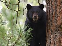 Seorang Mahasiswa di New Jersey Tewas Diserang Beruang
