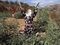 Lagi, Pemukim Zionis Tebangi Pepohonan Zaitun Petani Palestina