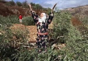 palestina pohon zaitun