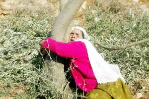 palestina pohon zaitun2