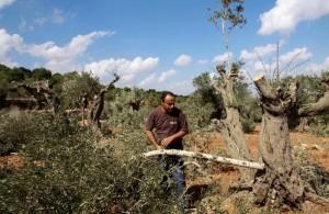 palestina pohon zaitun3