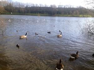 Angsa bermain di danau. Foto: Deni