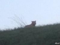 Polisi Perancis Memburu Seekor Harimau yang Lepas dari Kandang