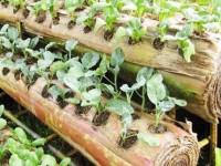Sayuran ditanam pada batang pisang
