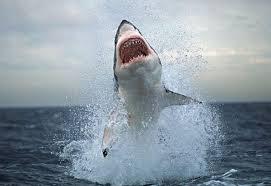hiu putih