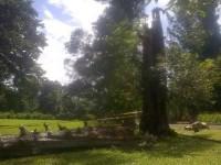 pohon tumbang di KRB (foto:Detik.com)