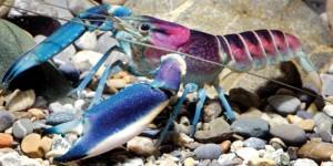 Lobster/Zookeys