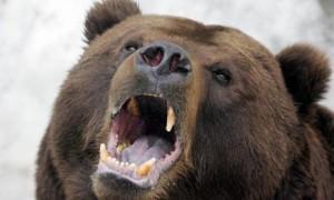 bear460x276