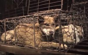 dog-meat-trade_3326489b