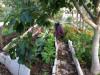 Murad di kebunnya (amonthinpalestine.wordpress.com)
