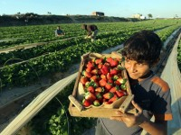 [Foto] Panen Strawberry di Palestina