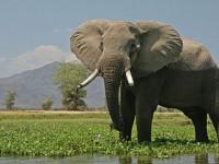 Untuk Pemulihan Populasi, 500 Ekor Gajah Afrika  Dipindahkan ke Tempat Baru