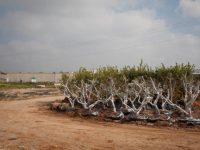 Israel Tumbangkan Pohon-pohon yang Ditanam Rakyat Palestina