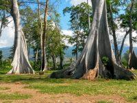 Berfoto dengan Pohon-Pohon Purba di Lombok Timur