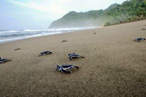 "Mengunjungi ""Surga Penyu"" di Pulau Sukamade"