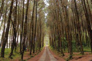 Terbius Keindahan Hutan Pinus Kragilan