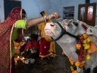 PM India Kritik Perlindungan Berlebihan Terhadap Sapi