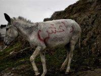 Keledai Pembawa Bom Tewaskan Tiga Anggota ISIS