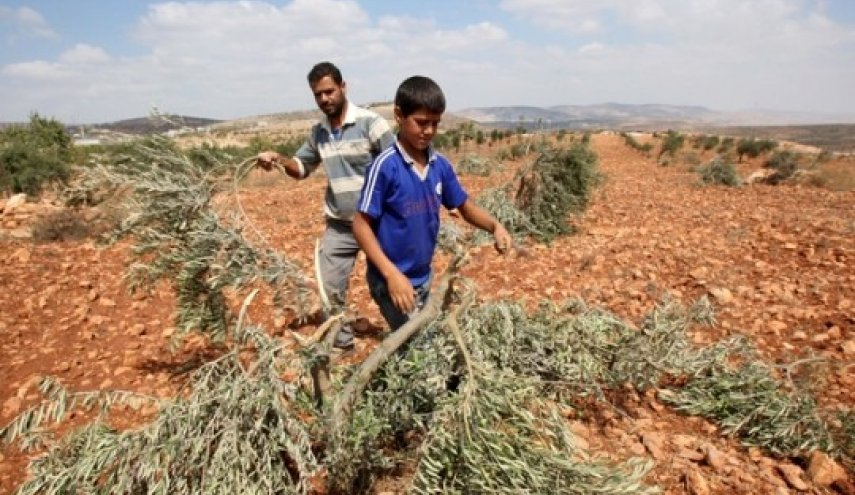 Pemukim Yahudi Rampok Kebun Zaitun Warga Nablus