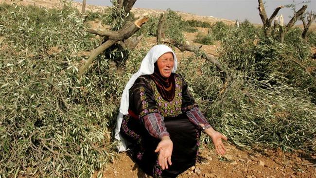 Pemukim Israel Curi Hasil Panen Zaitun dari Petani Palestina