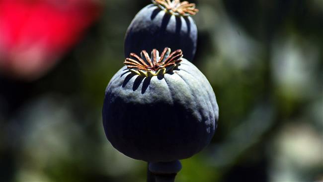 Survei: Produksi Opium Di Afghanistan Meningkat Tajam