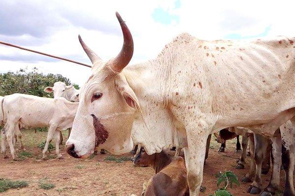 Rusuh Peternakan Di Sudan Selatan, 60-an Orang Tewas