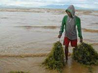 Musim Kemarau, Warga Sumba Didorong Beralih Budidaya Rumput Laut